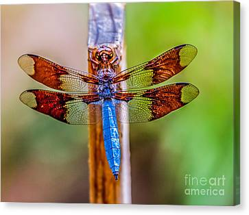 Blue Dragonfly Canvas Print by Robert Bales