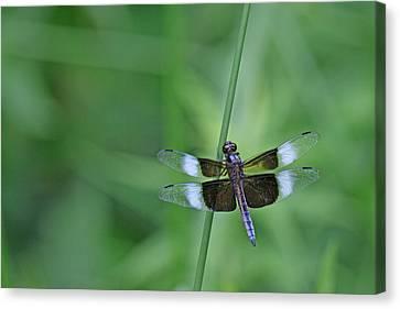 Blue Dragonfly Canvas Print by Tina B Hamilton