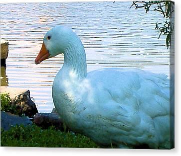 Canvas Print featuring the photograph Blue Duck by Diane Ferguson
