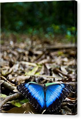 Blue Emperor Canvas Print by Sarita Rampersad