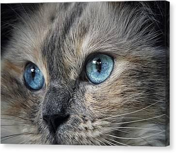 Blue Eyed Girl Canvas Print by Karen Stahlros