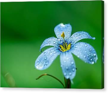Blue Eyed Grass Flower Canvas Print