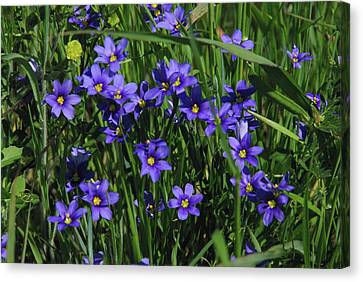 Canvas Print featuring the photograph Blue Eyed Grass by Robyn Stacey