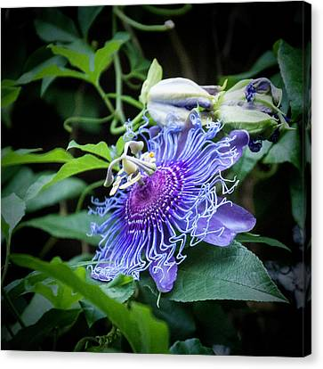 Blue Eyed Susan Passion Flower Canvas Print by Phyllis Taylor