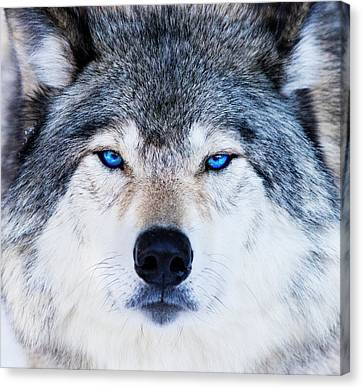 Canvas Print featuring the photograph Blue Eyed Wolf Portrait by Mircea Costina Photography