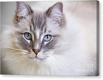 Blue Eyes Of A Ragdoll Cat. Canvas Print