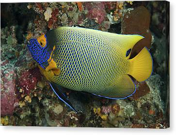 Blue Face Angelfish Canvas Print by Steve Rosenberg - Printscapes