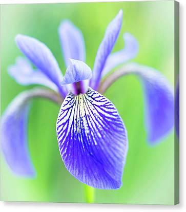 Blue Flag Iris As A Bee Sees It Canvas Print by Jim Hughes