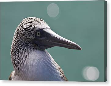 Blue Footed Booby II Canvas Print by Dave Fleetham