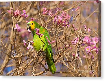 Blue-fronted Parrot Canvas Print