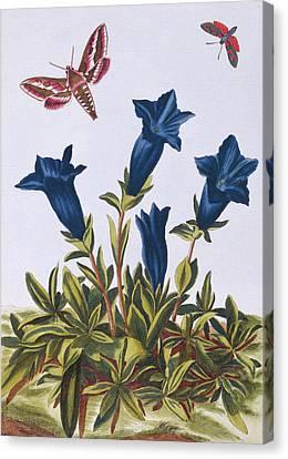 Blue Gentian  Trumpet Flower  Canvas Print by Pierre-Joseph Buchoz