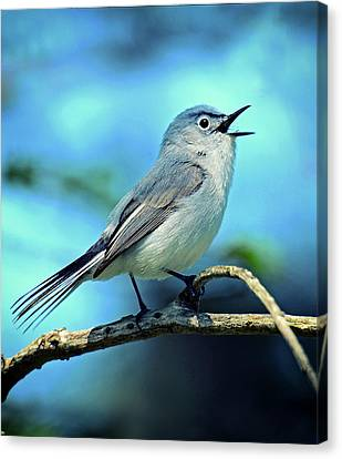 Canvas Print featuring the photograph Blue-gray Gnatcatcher by Rodney Campbell