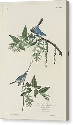 Blue-grey Flycatcher Canvas Print