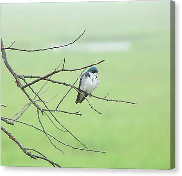 Canvas Print - Blue Headed Bird by Randi Shenkman