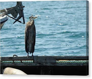 Blue Heron #3 Canvas Print