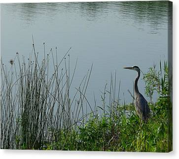 Blue Heron Canvas Print by Anna Villarreal Garbis