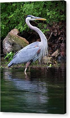 Blue Heron Canvas Print by Bud Simpson