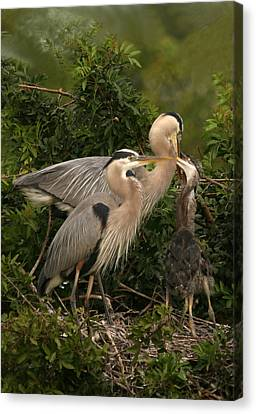 Canvas Print featuring the photograph Blue Heron Family by Shari Jardina
