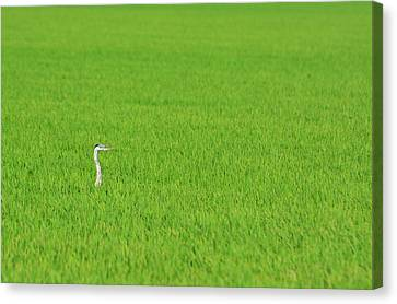 Blue Heron In Field Canvas Print