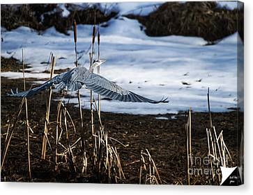 Canvas Print featuring the photograph Blue Heron by Jim  Hatch