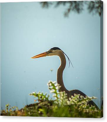 Blue Heron On The Hunt Canvas Print by Chris Bordeleau