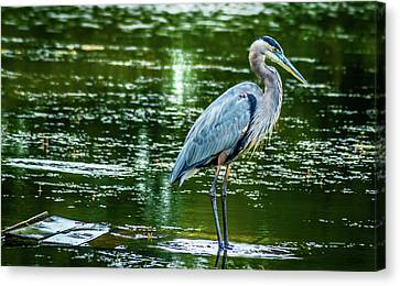 Blue Heron Canvas Print by Optical Playground By MP Ray