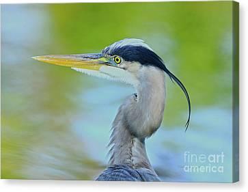 Canvas Print featuring the photograph Blue Heron Portrait 2017 by Deborah Benoit