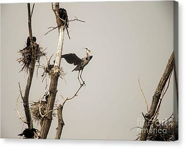 Canvas Print featuring the photograph Blue Heron Posing by David Bearden