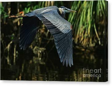 Canvas Print featuring the photograph Blue Heron Series The Pond by Deborah Benoit