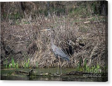 Canvas Print featuring the photograph Blue Heron Stalking Dinner by David Bearden