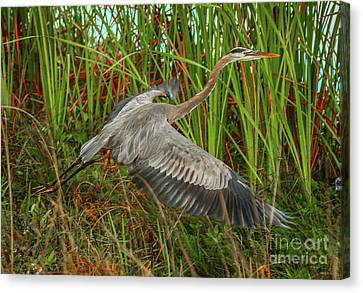 Blue Heron Take-off Canvas Print by Tom Claud