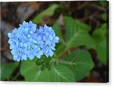 Blues Canvas Print - Blue Hydrangea Blossom by Aimee L Maher Photography and Art Visit ALMGallerydotcom