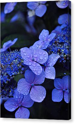 Water Drops Canvas Print - Blue Hydrangea by Noah Cole