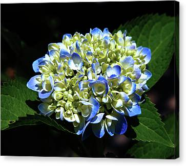 Blue Hydrangea Onstage 2620 H_2 Canvas Print