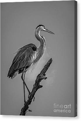 Great Blue Heron Canvas Print - Blue In Black-bw by Marvin Spates