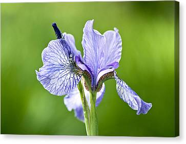 Blue Iris Germanica Canvas Print by Frank Tschakert