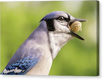 Blue Jay And Peanuts Canvas Print by Jim Hughes