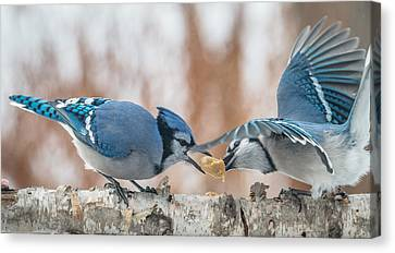 Blue Jay Battle Canvas Print by Patti Deters