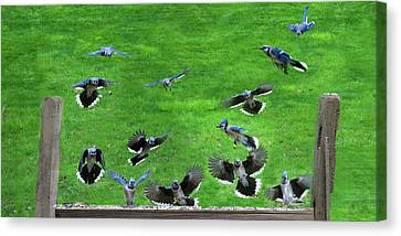 Blue Jay Fly In Canvas Print