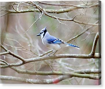 Canvas Print featuring the photograph Blue Jay by George Randy Bass