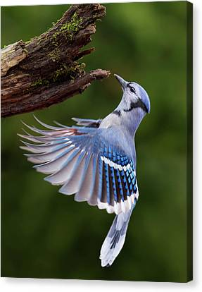 Canvas Print featuring the photograph Blue Jay In Flight by Mircea Costina Photography
