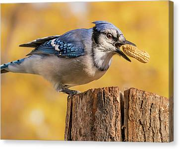 Feeding Canvas Print - Blue Jay Juggling A Peanut by Jim Hughes