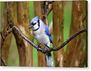 Blue Jay On A Branch Canvas Print by Trina Ansel