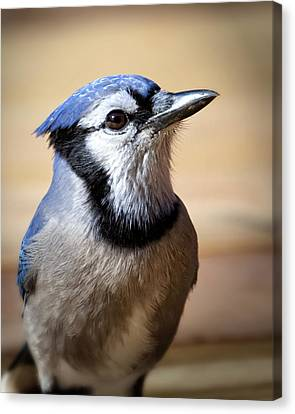 Blue Jay Portrait Canvas Print by Al  Mueller