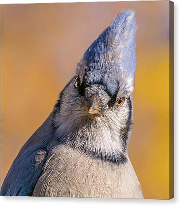 Canvas Print featuring the photograph Blue Jay Portrait by Jim Hughes