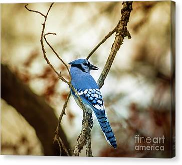 Blue Jay Canvas Print by Robert Frederick