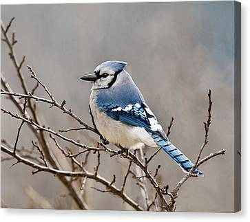 Blue Jay Way Canvas Print by Lara Ellis