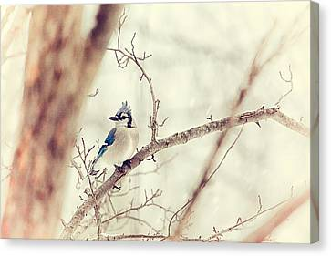 Blue Jay Winter Canvas Print by Karol Livote