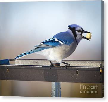 Blue Jay With A Mouth Full Canvas Print by Ricky L Jones