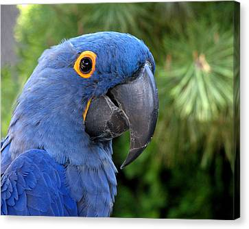 Blue Macaw Parrot Canvas Print
